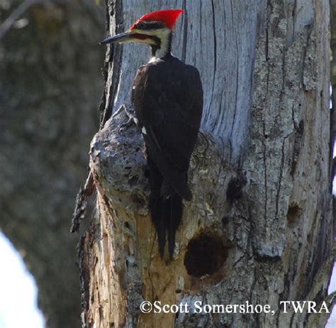 tennessee watchable wildlife pileated woodpecker