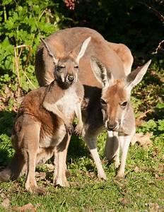 Kangaroo Baby 'Joeys' Abound At The Detroit Zoo This ...