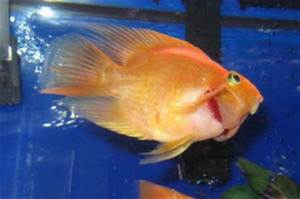 Aquarium Fish Red Gills 1000 Aquarium Ideas
