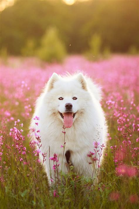 Dogs Samoyed In The Flowers Your Beautiful Things