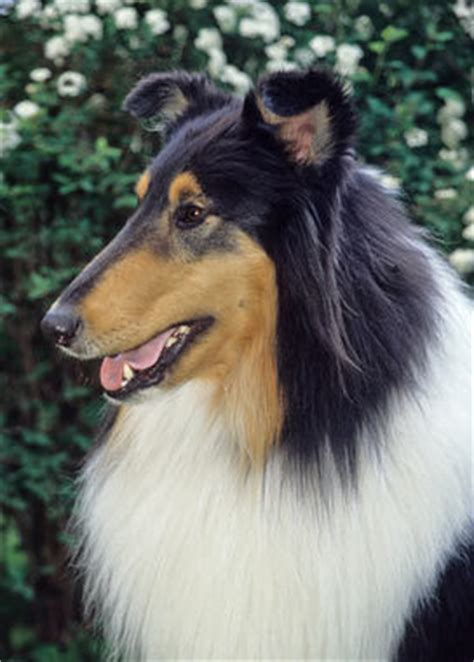 Do Collies Shed A Lot by Collie Breed Information