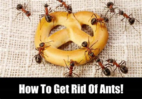 How To Get Rid Of Ants In The Kitchen Kitchensanity