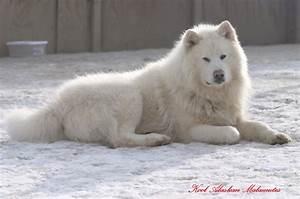 white giant alaskan malamute Quotes