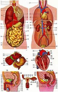 Human Internal Anatomy