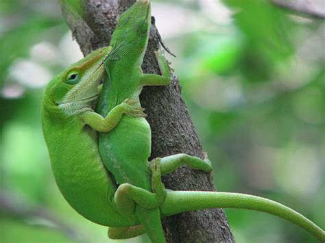 Breeding Anoles