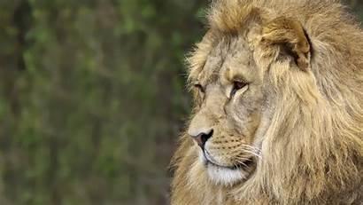 Lion Screensavers Background Wallpapers Jamar Nail 1080