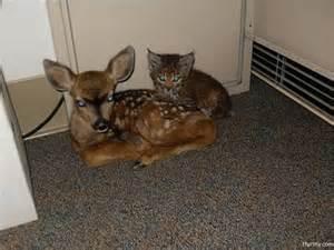 Baby Deer and Bobcat