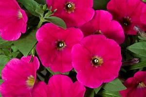 Petunia Hybrida Petunia Good And Plenty U00ae  U2013 Green Fuse
