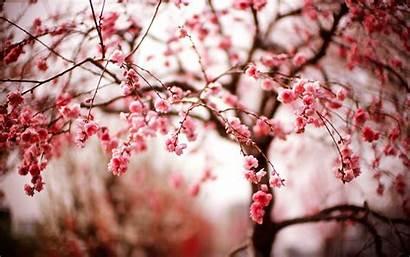 Sakura Tree Backgrounds Wallpapers