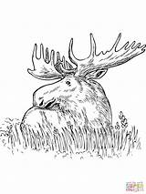 Moose Coloring Pages Grass Printable Head Outline Sitting Drawing Print Horse Template Trials American Snake King Templates sketch template