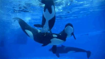 Whales Seaworld Orcas Animals Whale Killer Sea