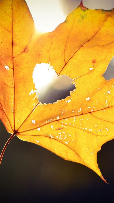 wallpaper love heart maple leaf hd photography