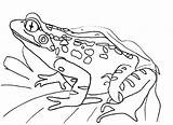 Frog Coloring Pages Frogs Printable Sheet Cycle Colouring Draw Drawing Realistic Outline Animals Drawings Clip Return Lilypad Bestcoloringpagesforkids sketch template