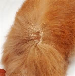 cat dandruff walking dandruff on cat fur photo wp09030