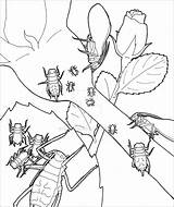 Coloring Aphid Pea Library Visual sketch template