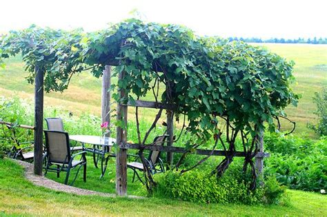 grape vine trellis how to make wine in your backyard winemaking beginners