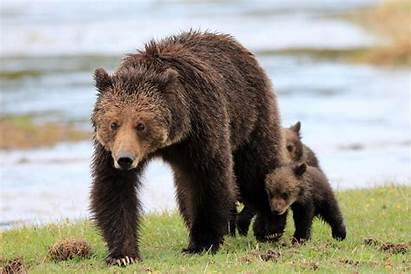 Bear Attack Animals Grizzly Bears Killed Why
