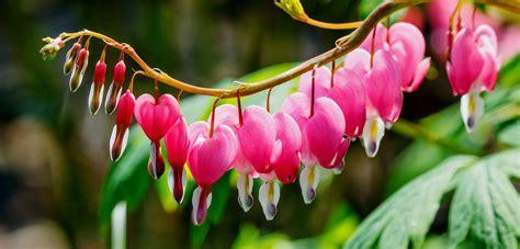 bleeding hearts growing bleeding hearts how to care for a bleeding heart plant