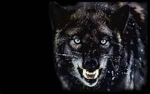 Big Angry Wolf HD Download HD Wallpapers Photos 1280x800