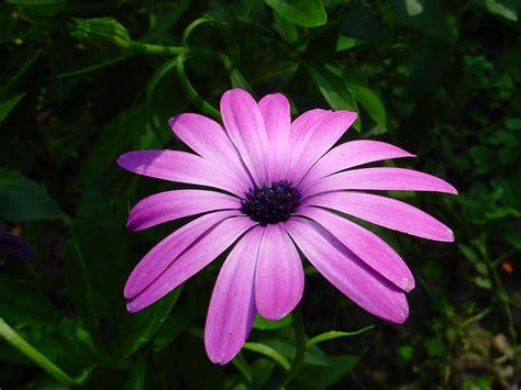 imagenes de flores  plantas margarita