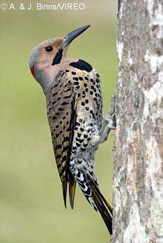vireo bird