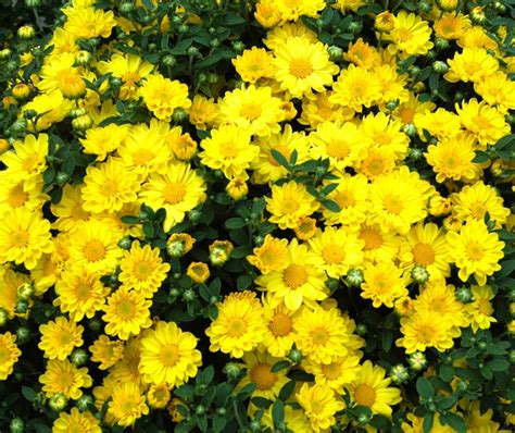 yellow mums products by category young s plant farm