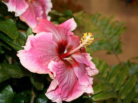 mississippi gardens excel  hibiscus mississippi