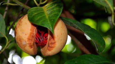 bagaimana budidaya tanaman buah pala simak yuk jawaban