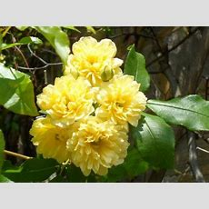 Climbing Roses, Yellow Flowers And Evergreen On Pinterest