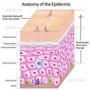 Epidermis Structure Diagrams   Biological Science Picture