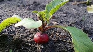 Culture Des Radis : radis culture des radis jardinage bio ~ Melissatoandfro.com Idées de Décoration