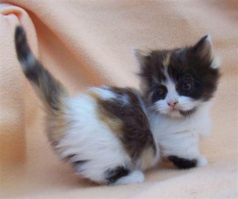 Munchkin Cat Wallpapers Hd Download