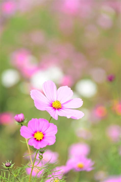 close   pink cosmos flowers  stock photo