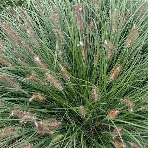 pennisetum alopecuroides hameln pennisetum alopecuroides hameln grass best4hedging