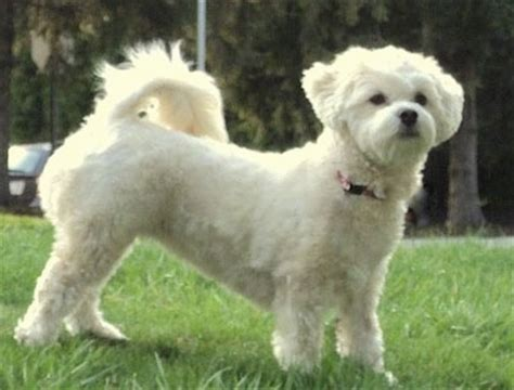 lhasapoo breed information and pictures