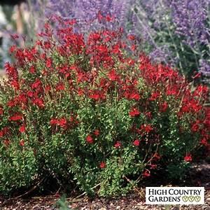 Salvia greggii Furman's Red| Furman's Red Texas Sage | Low ...