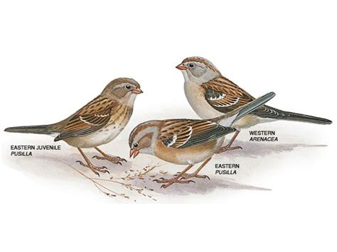 field sparrows field sparrow pictures field sparrow facts