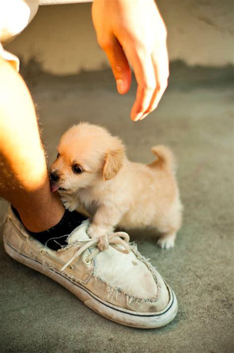 perros mas pequenos  adorables  vas  querer tener