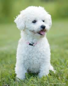 bichon frise dogs brichon frise care petsrank com dogs