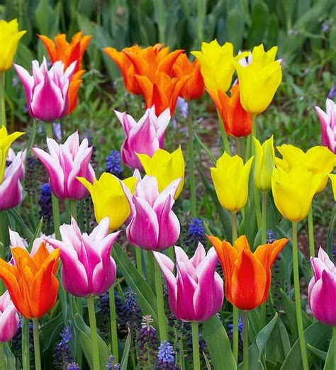 Tulip Flower Image by Beautiful Tulips Flowers Photo 33875500 Fanpop