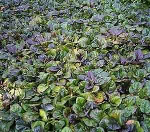 "Ajuga Purple Bugleweed 6"" Pot - Hello Hello Plants ..."