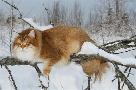 From Russia With Love ♥ Siberian Cats