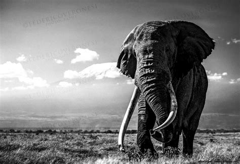 Animal Wallpaper Black And White - elephant black and white desktop wallpaper