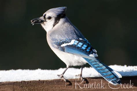 pics  blue jays birds pictures  animal picture society