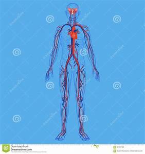 Body Diagram Stock Photos