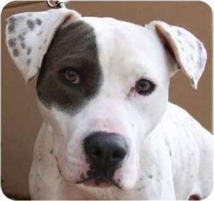 Roxy   Adopted Dog   Atlanta, GA   American Bulldog ...