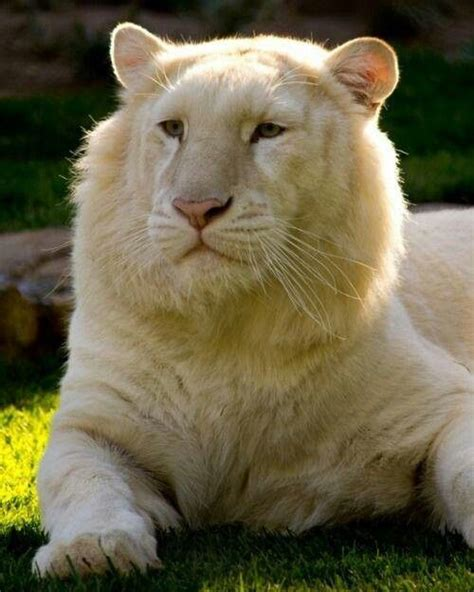 Beautiful White Lion Animals