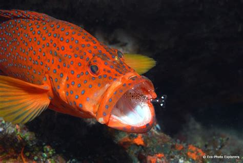 grouper maldives rainbow teeth coral diving resort sea found cleaning wide opens