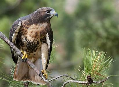 Hawk Tailed Buteo Branch Forest Jamaicensis Hawks