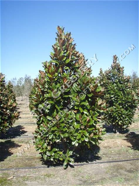 magnolia evergreen varieties evergreen magnolia trees types pictures to pin on pinterest pinsdaddy